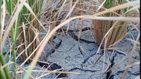 Terlihat sawah mengering, tanah yang sudah ditumbuhi padi semakin mengering dan tananya pun pecah. Para petani terpaksa mencabut paksa kacang yang ditanam lantaran tidak memiliki air, mereka sebut gagal panen. (Liputan6.com/ Jhon Gomes)
