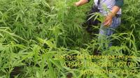 Ladang Ganja di Purwakarta (Liputan6.com/Dok Satnarkoba Polres Purwakarta)