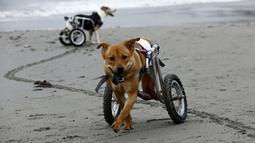 Pelusa dan Pecas, anjing yang lumpuh di kursi roda berjalan di Pescadores pantai Chorrillos, Lima, (7/9/2015). Sara Moran memiliki tempat penampungan untuk anjing liar dan terluka akibat kecelakaan di Milagros Perrunos. ( REUTERS/Mariana Bazo)