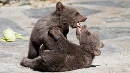 Dua bayi beruang cokelat Suriah bermain di kandang mereka di Kebun Binatang Servion, Swiss, Selasa (17/4). Tiga bayi beruang lahir pada 19 Januari 2018. (Cyril Zingaro / Keystone via AP)