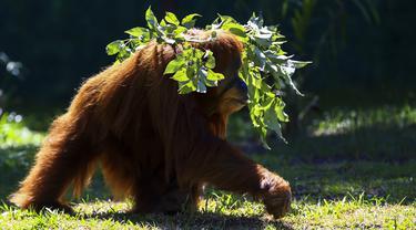 Orangutan bernama Elze berjalan di Biopark of Rio selama tur media di Rio de Janeiro, Brasil, Kamis (18/3/2021). Biopark of Rio ditutup untuk umum selama renovasi mengubah kebun binatang kota tersebut menjadi pusat konservasi keanekaragaman hayati. (AP Photo/Bruna Prado)