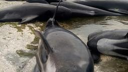 Kawanan paus pilot yang terdampar di kawasan pantai Farewell Spit, ujung selatan Selandia Baru, Jumat (10/1). Diduga kuat Farewell Spit membuat paus kebingungan, karena kasus sebelumnya juga terjadi di area yang sama. (Tim Cuff/New Zealand Herald via AP)