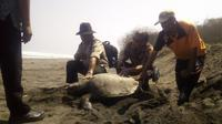 Seekor Penyu Hijau (Chelonia mydas) ditemukan mati di Pantai Laguna Lembupurwo, Kebumen. (Foto: Liputan6.com/Marzuki/Muhamad Ridlo)