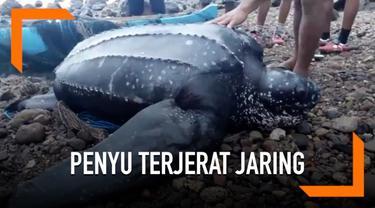 Seekor penyu berukuran besar terjerat jaring di Pulau Solor, NTT. Warga setempat membebaskan dan melepaskannya kembali ke perairan.