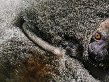 Seekor bayi Lemur bambu besar (Prolemur simus) menempel pada induknya, Veloma, di Kebun binatang Besancon, Prancis, Kamis (1/8/2019). Bayi tersebut lahir pada 2 Juli 2019 dari induk bernama Veloma (6) dan Ivongo (14). (Photo by SEBASTIEN BOZON / AFP)