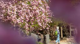 Seorang pengunjung meliat-lihat pohon sakura mekar di pameran hortikultura EGA (Erfurt Garden Construction Exhibition) di Erfurt, Jerman, Kamis (19/4). Masyarakat Jerman banyak memilih bersantai di taman saat musim semi. (AP Photo/Jens Meyer)