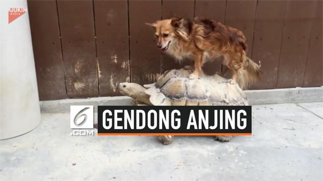 Pemandangan unik berhasil diabadikan seorang pejalan kaki. Di mana seekor kura-kura menggendong seekor anjing di pinggir jalan.