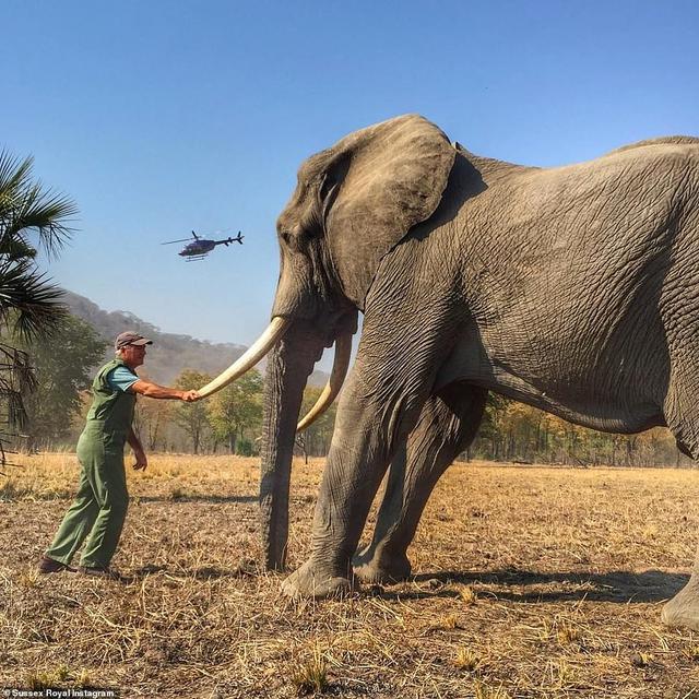 Bostwana Cabut Larangan Berburu Gading Gajah Dunia Meradang