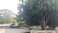 Pohon sukun tempat primadona Presiden Pertama RI Sukarno saat diasingkan di Ende, Flores, NTT. (Liputan6.com/Ilyas Istianur Praditya)