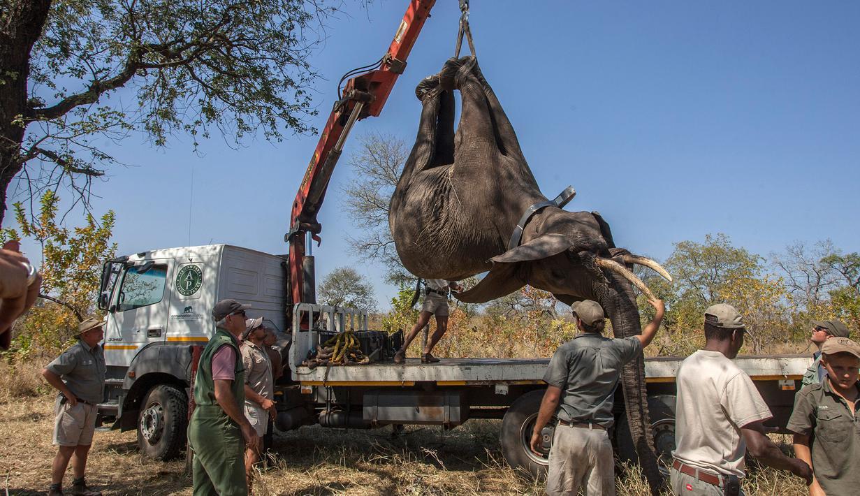 Seokar gajah diangkat menggunakan alat berat saat akan dipindahkan di Majete Game Reserve, Malawi selatan (14/7). Sekitar 500 gajah dipindahkan dari Majete Game Reserve ke Nkhotakota di wilayah tengah. (AFP Photo/Amos Gumulira)