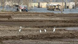 Kawanan burung mencari makan di Waduk Jatigede, Desa Cipaku, Sumedang, Jawa Barat, Senin  (17/9). Musim kemarau panjang menyebabkan Waduk Jatigede surut sehingga puing bangunan Desa Cipaku yang tenggalam kembali terlihat. (Liputan6.com/Herman Zakharia)