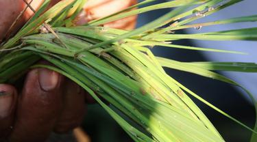 Pengendalian serangan hama wereng sejak dini. (Foto: Liputan6.com/Dinkominfo PBG/Muhamad Ridlo)