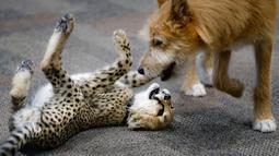 Bayi cheetah bernama Kris dan anak anjing bernama Remus bermain di Kebun Binatang Cincinnati, Ohio, Amerika Serikat, Rabu (9/10/2019). Remus dihadirkan untuk membantu Kris belajar menjadi cheetah. (AP Photo/John Minchillo)