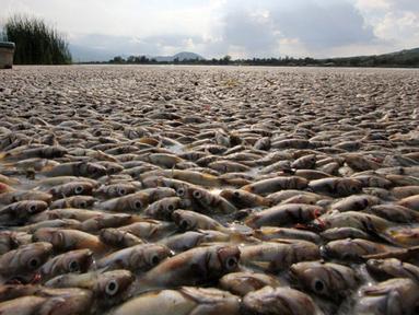 """Puluhan ribu ikan air tawar """"popocha"""" mati terdampar di laguna Cajititlan, negara bagian Jalisco, Meksiko, 17 Agustus 2015. Diduga sekitar 25 ton ikan mati karena tercemar limbah pabrik. (AFP PHOTO/HECTOR GUERRERO)"""