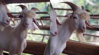 Kambing ganteng (Sumber: Facebook/Muhammad Livestock Farm)