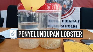 Jajaran Direktorat Tindak Pidana Tertentu Bareskrim Polri mengungkap penyelundupan benih lobster dari Jambi ke Singapura sebanyak 113 ribu lebih ekor dengan nilai 17 miliar rupiah.