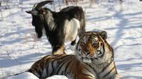 Kambing bernama Timur dan macan Amur tampak di sebuah kandang di Taman Safari Primorye, 30 November 2015. (AFP)