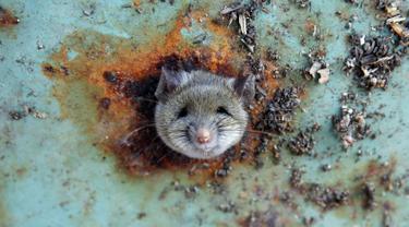 Seekor tikus saat terjebak di sebuah lubang bagian bawah tong sampah di Brooklyn, New York, Amerika Serikat, (18/10). Tikus tersebut terlihat kesusahan melepaskan diri dari lubang tong sampah. (REUTERS/Lucas Jackson)