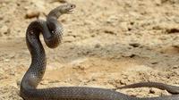 Ular Kobra. (Liputan6/BBC)