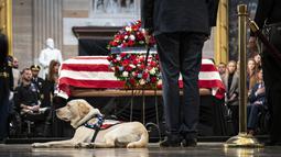Anjing bernama Sully duduk dekat peti mati George H.W. Bush di Gedung Capitol, Washington, Senin (3/12). Anjing labrador itu berbaring di samping peti mati Presiden AS ke-41, seolah sedang memberikan penghormatan terakhir. (Drew Angerer/Getty Images/AFP)