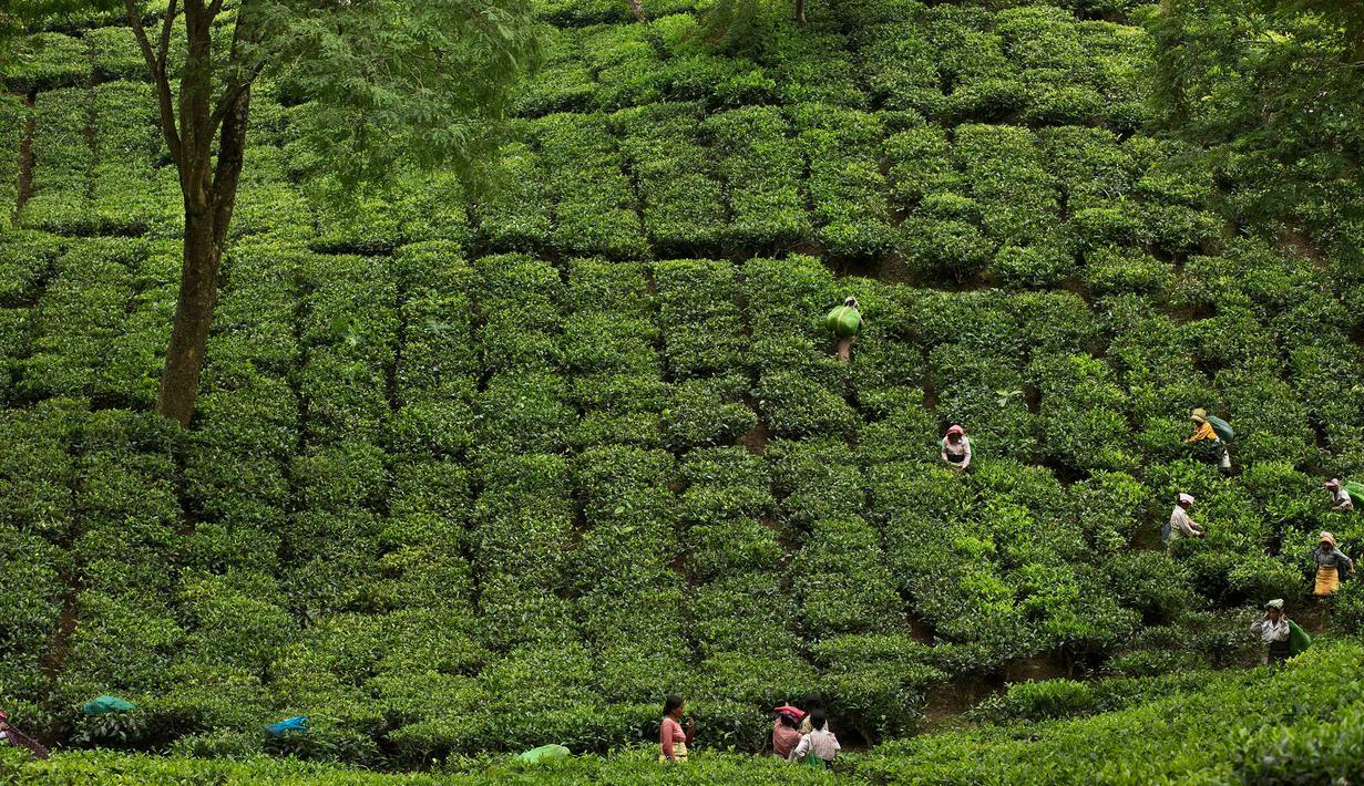 Para pekerja wanita India memetik daun teh di kebun teh di Kaziranga, di negara bagian Assam, India timur laut, (11/10). Assam memproduksi lebih dari 50 persen tanaman teh di India. (AP Photo/Anupam Nath)