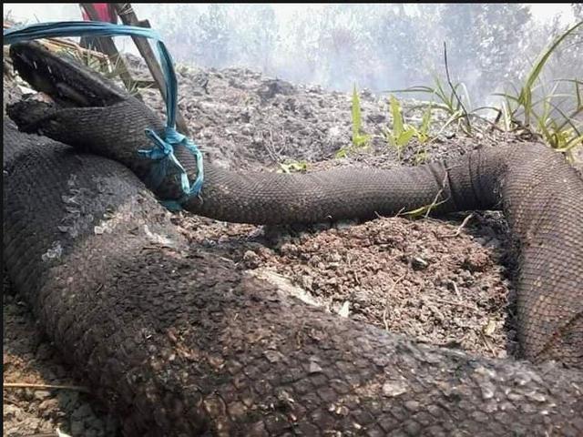 3 Hal Tentang Ular Piton Raksasa Yang Mati Akibat Kebakaran Hutan Kalimantan News Liputan6 Com