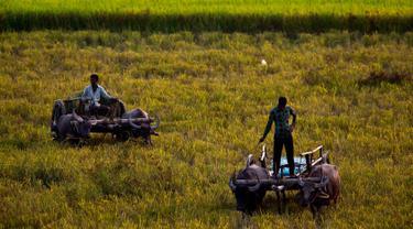 Para petani menggunakan gerobak kerbau untuk mengumpulkan padi di sawah di pinggiran Gauhati, India, Senin (27/5/2019). Lebih dari 70 persen penduduk India yang berjumlah 1,25 miliar terlibat dalam pertanian. (AP Photo/Anupam Nath)