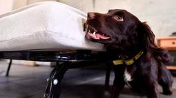 Seekor anjing bernama Nova mendeteksi bau kutu busuk selama pelatihan di bekas kompleks militer di Magnac-Laval, Prancis, 15 Juli 2019. Anjing jantan berusia 15 bulan ini dapat mendeteksi sarang kutu busuk dengan cepat untuk dilakukan proses disinfeksi. (GEORGES GOBET / AFP)
