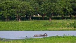 Bayi badak bercula satu berendam dalam air di Suaka Margasatwa Pobitora di pinggiran Gauhati, India, Senin (27/5/2019). Tempat ini memiliki populasi badak bercula satu tertinggi di dunia. (AP Photo/Anupam Nath)