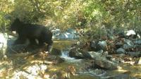 Beruang Hitam Asia terlihat di zona DMZ Korea. (Ministry of Environment Korea)