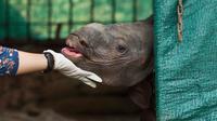 Ekspresi bayi badak bertanduk satu saat berada di dalam kandangnya di Taman Zoologi Assam di Gauhati, India (5/6). Petugas Taman Zoologi memberi makan dan perawatan agar bayi badak tersebut dapat terus hidup. (AP Photo/Anupam Nath)