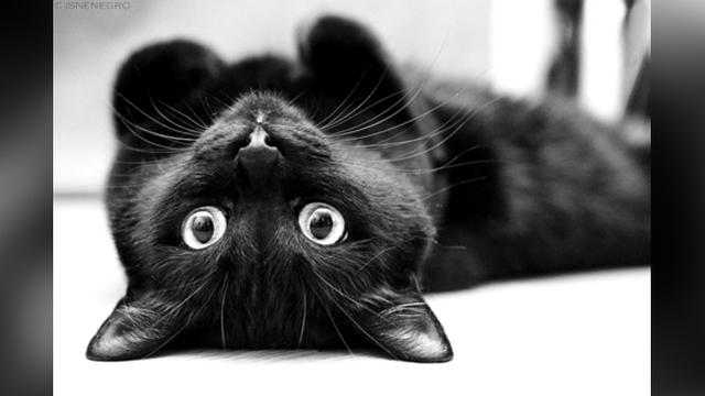 Unduh 66+  Gambar Kucing Hitam Paling Lucu Gratis