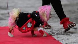 Seekor anjing bernama Fetti berjalan di karpet merah saat mengikuti kontes kostum anjing Halloween tahunan di Coral Gables Museum, Coral Gables, Florida, Amerika Serikat, Kamis (31/10/2019). (AP Photo/Lynne Sladky)