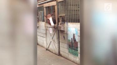 Seekor kuda punya cara jenius saata kabur dari kandangnya sendiri.