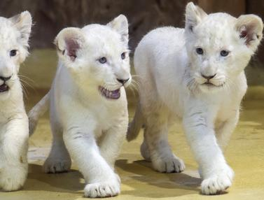 3 Bayi Singa Putih Langka Lahir di Jerman