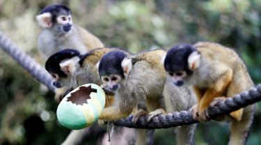 Monyet tupai berbaris saat diberi makan dengan wadah dari telur Paskah yang terbuat dari bubur kertas selama pemotretan di ZSL London Zoo di London, Inggris (18/4). Kebun binatang ZSL London menghadiahkan hewan-hewan peliharaannya makanan dalam kemasan telur Paskah. (Reuters/Peter Nicholls)