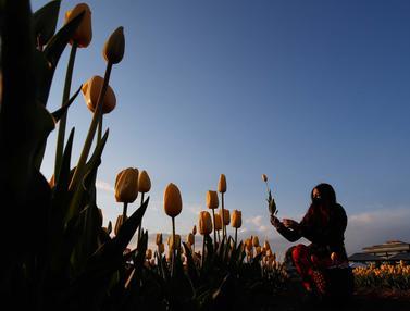 Serunya Memetik Bunga Tulip di Milan