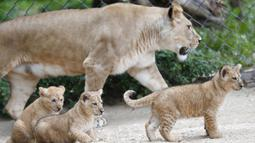 Seekor singa berber Khalila berjalan dengan anak-anaknya dalam kandang mereka di kebun binatang di Dvur Kralove, Republik Ceko, Kamis (10/9/2020). Tiga bayi singa berber yang lahir pada 5 Juli lalu tersebut merupakan subspesies langka dan telah punah di alam liar. (AP Photo/Petr David Josek)