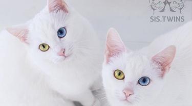 Punya Warna Mata Berbeda, Kucing Kembar Ini Banjir Pengikut di Instagram