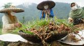 Jahe merah hasil panen petani binaan Yayasan Dharma Bhakti Astra (YDBA) di Desa Hariang, Lebak, Banten (20/20/2021). Panen perdana merupakan hasil pembinaan YDBA berkolaborasi dengan PT Bintang Toedjoe sejak November 2020. (Liputan6.com/HO/YDBA)