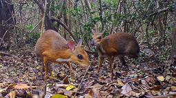 Chevrotain berpunggung perak terekam di salah satu hutan di Vietnam, 6 Juni 2018. Peneliti berhasil mengambil rekaman foto 'tikus-rusa' untuk pertama kalinya sejak diperkirakan punah (Global Wildlife Conservation/Southern Institute of Ecology/Leibniz Institute for Zoo and Wildlife Research/NCNP/AFP)