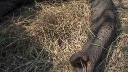 Petugas Taman Afrika membius gajah yang akan dipindahkan di Majete Game Reserve, Malawi selatan (14/7). Pemindahan gajah ini dilakukan untuk meningkatkan populasi hewan tersebut. (AFP Photo/Amos Gumulira)