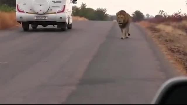 Walaupun dikenal sebagai binatang tanpa rasa lembut, singa juga bisa menangis jika berada dalam keadaan seperti ini.