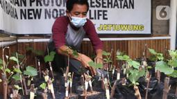 Warga melakukan pembibitan tanaman buah anggur di kampung anggur Tangerang, Minggu (22/11/2020). Bibit dijual kisaran 20 ribu untuk yang lokal dan jenis parian impor 125 ribu dan banyak di pesan dari luar kota, sehingga dapat menjadi roda perekonomian warga sekitar. (Liputan6.com/Angga Yuniar)
