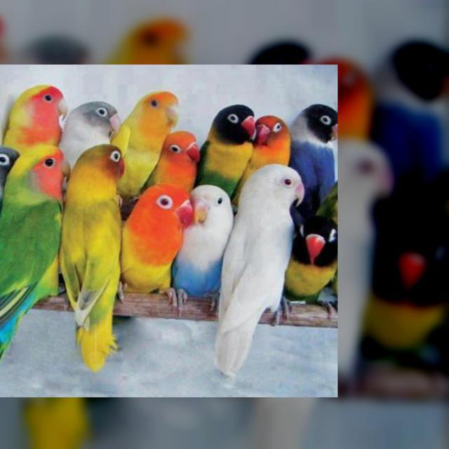 Jenis Burung Kicau Yang Populer Dengan Suara Merdu Harganya Capai Belasan Juta Rupiah Citizen6 Liputan6 Com