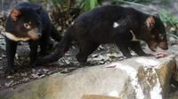 Untuk pertama kalinya dalam 3.000 Tahun, Tasmanian Devil kembali muncul di daratan utama Australia. (Photo credit: AP Photo/Mark Baker, File)
