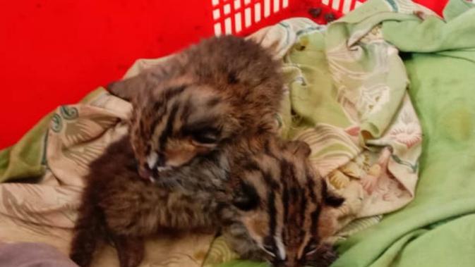 Tangisan 2 Bayi Leopard Cat Yang Ditinggal Induknya Di Ladang Jagung Regional Liputan6 Com