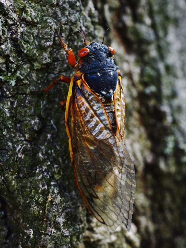 Jangkrik Brood X memanjat pohon oak di Washington DC, Amerika Serikat, 20 Mei 2021. Miliaran jangkrik Brood X telah mulai muncul di Amerika Serikat bagian timur setelah hidup di bawah tanah selama 17 tahun. (MANDEL NGAN/AFP)