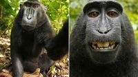 The monkey selfie (David J Slater/Caters)