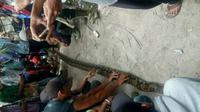 Warga tangkap ular sawah di indragiri Hulu (Liputan6.com / M. Syukur)